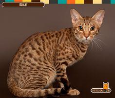Origen: Estados Unidos Longevidad: de 12 a 15 años. Conoce más de este sociable amigo en: http://www.universomascotas.co/razas/gatos/ocicat/68