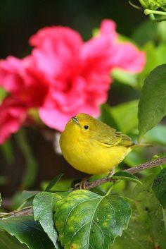 Tiny Yellow Warbler, Santa Cruz, Galapagos!