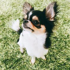 ⌘ ⌘ おやつ待ち〜〜🍬 ⌘ でもどこ見てるの?笑 こっちだよ〜〜🙌💕 ⌘ ⌘ #チワワ #極小チワワ #ロングコートチワワ #ロンチー #ブラックタンホワイト #可愛い #溺愛 #チワワ部 #犬 #愛犬 #カメラ女子 #chihuahua #dog #cute #love #pet #life #smile #enjoy #instagood #instagram #instalike #instadog #instalife #instacool #japan #tokyo #family