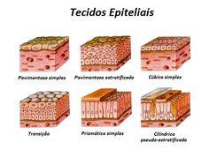 O tecido epitelial é um dos principais grupos de tecidos celulares, sendo sua principal função a de revestimento da superfície externa e de diversas cavidades internas do organismo. Study Hard, Med School, Studyblr, Study Tips, Biology, Decorative Boxes, Education, Student Nurse, Human Tissue