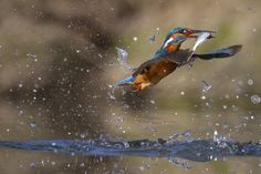 Tango whit fish by Marco Redaelli on Amazing Photography, Nature Photography, Dancing In The Rain, Wild And Free, Kingfisher, Bird Feathers, Beautiful Birds, Birds In Flight, Animal Kingdom