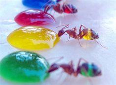 Suikerwater en mieren, een mooie combi!