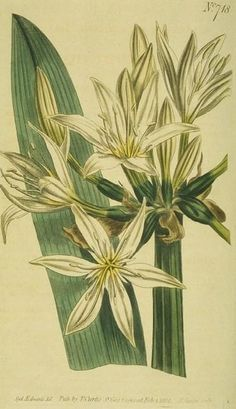 """""""Illyrian Pancratium"""" ~ it's Italian name, """"giglio stella"""" means Star lily"""