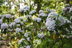 Mountain Laurel (Kalmia latifolia) -- acid loving plant similar like sot rhododendron Kalmia Latifolia, Acid Loving Plants, Tree Canopy, Love Garden, Native Plants, Perennials, Landscape Design, Lush, Herbs
