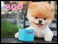 """Boo è un pomeranian di 5 anni (compie gli anni il 16 marzo), più conosciuto come un volpino di Pomerania, o Spitz. Deve il suo successo al taglio di """"capelli"""" scelto dalla padrona. Per risolvere un problema di nodi, J.H. Leelo ha tosato facendolo somigliare a un orsacchiotto. E da quel momento il cagnolino è diventato una celebrità della Rete. Da oggi il Peluche di BOO è disponibile sui nostri siti: www.favilu.com - www.favilu.it vieni a scoprirne la dolcezza"""