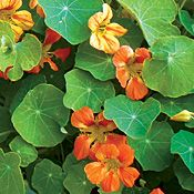 Nasturtium ~ Buds are often pickled and used like capers. Sweet, mildly pungent, peppery flavor.