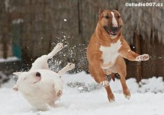 #Bull #Terriers playing on the snow