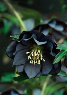 helleborus black lenten rose