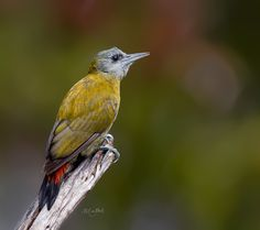 """""""Olive Woodpecker"""" by Muller Dirker on Outdoorphoto Weekly Choice Galleries"""