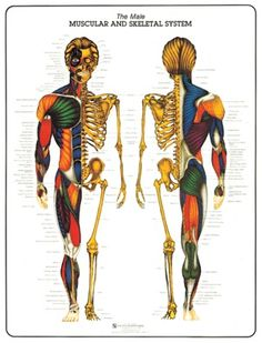 Muscular and Skeletal System - Male - Bruce Algra