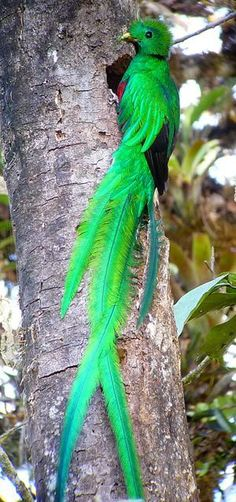 "the-rouge-rose2u: "" RESPLENDENT QUETZAL - Pharomachrus mocinno… Montane cloud forest from S Mexico to W Panama … Photo: Jim Moore """