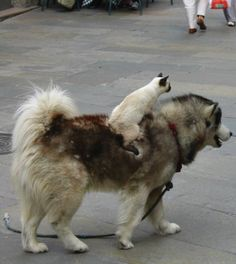Cat riding a dog.