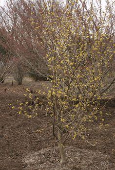 Plant it! Japanese Cornel Dogwood: http://blog.hgtvgardens.com/plant-of-the-day-japanese-cornel-dogwood/
