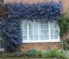 ceanothus thyrsiflorus or California Lilac. Full sun, low water, would be great for covering the fence. Climbing Plants Fast Growing, Wall Climbing Plants, Evergreen Climbing Plants, Evergreen Climbers, Growing Plants, California Lilac, California Native Plants, Blue Garden, Dream Garden