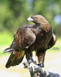 golden eagle by Tri Tran All Birds, Birds Of Prey, Eagle Bird, Bald Eagle, Beautiful Birds, Animals Beautiful, Types Of Eagles, Raptor Bird Of Prey, Golden Eagle