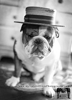 """"""""""" THE great Gatsby-bully"""""""" Photo by  Melodygellikinphotography.com Baggy Bulldogsg"""