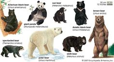 bears. another celebrated dancing bear. five in a row. homeschooling