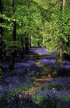 The Shire: Ashridge Park, Hertfordshire, #England | National Trust Woodlands carpeted with English Bluebells in Spring.