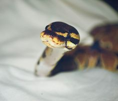 Types Of Pet Reptiles Python Royal, Pretty Snakes, Beautiful Snakes, Cute Reptiles, Reptiles And Amphibians, Animals And Pets, Baby Animals, Funny Animals, Types Of Snake