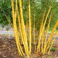 3 Gallon Cold Hardy Spectabilis Running Bamboo Plant 3 ft Ornamental Planter Box