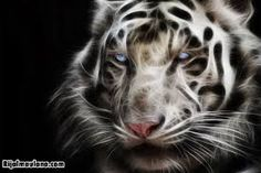 White Tiger by ~mceric on deviantART Save The Tiger, Tiger Love, Man Of The Match, Fire Art, Animal Wallpaper, My Favorite Image, Fantasy Landscape, Big Cats, Cat Art