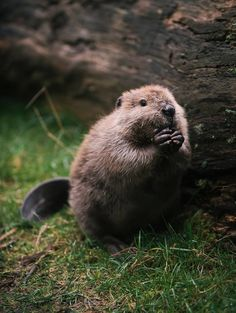Hazelnut, a four-month-old North American beaver at Point Defiance Zoo and Aquarium, Tacoma, WA