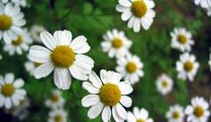 The ancient Egyptians held that Anthemis nobilis was sacred to the sun god Ra, and used chamomile oil to anoint the body for rituals in his honor.  It was also valued by the Arabs and Saxons, who revered it as one of nine most sacred herbs. It was used in Medieval Europe to scent clothing and interior spaces, and was cultivated in fields for its attractive, sweet scent