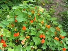 Nasturtiums one of our favorites,, Great for attracting the good bugs and repelling the bad ones !!