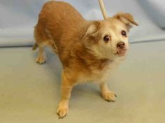 **SENIOR**  Super Urgent Manhattan - BEVERLY - #A1100279 - FEMALE TAN/WHITE CHIHUAHUA LH MIX, 10 Yrs - STRAY - NO HOLD Reason STRAY - Intake 12/22/16 Due Out 12/26/16 - TENSE BUT ALLOWED HANDLING - CAME IN WITH TOBY #A1100281,  SUZY #A1100282,  COCO 3A1100283
