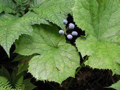 Diphylleia grayi flowers transform to dark blue / purple berries in late summer