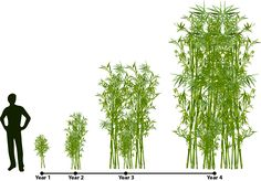 Phyllostachy aureosulcata 'Spectabilis' is a colorful cold hard screening bamboo. Does well in a windy planting site.