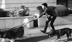 Zico trying (and failing) to walk dogs