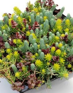 Sedum 'Flaming Carpet' is an exciting mix of Sedums 'Angelina', 'Blue Spruce', and 'Voodoo' all in one! The contrast of colors and textures look great in the garden. Use in mixed beds, containers, and planted in masses. Succulents In Containers, Cacti And Succulents, Container Plants, Planting Succulents, Planting Flowers, Air Plants, Indoor Plants, Cactus, Succulent Gardening