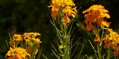 Die wundersame Heilpflanze: Goldlack und ihre Wichtigkeit in der Pflanzenheilkunde Plants, Studio, Herbal Medicine, Natural Medicine, Medicinal Plants, Studios, Plant, Planets