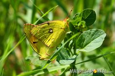 Papallones, mariposas, butterfly