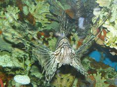 Lionfish Invasive Species Tropical Fish found in FL