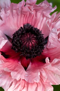 Oriental Ruffle Pink Poppy by Cindy Dyer