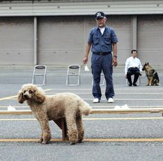Smaller dogs playing a growing role in police operations - The Japan News
