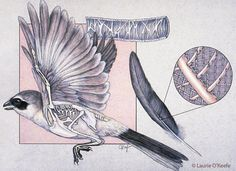 Professional Illustration by Laurie O'Keefe. Traditional rendering of the skeletal structure and feather anatomical details of a bird in flight. Stock-available for licensing/reuse.