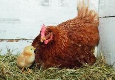 Eine Henne mit ihrem Küken