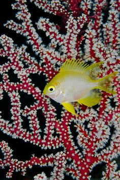 ˚Yellow chromis byLonely Planet Images