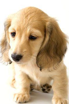 . Mini Dachshund, Dachshund Puppies, Pet Dogs, Cute Puppies, Dog Cat, Dogs And Puppies, Doggies, Cream Dachshund, Weiner Dogs