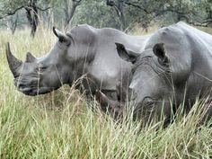 Rhinos uganda
