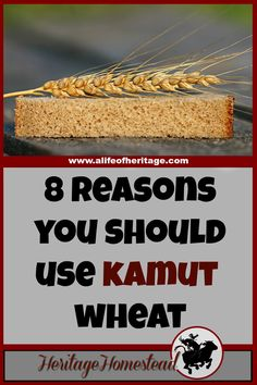 Homesteading   Kamut Wheat   Ancient Grains   In my opinion, KAMUT wheat is superior than the modern wheat available for many reasons. Here are my eight reasons why I only use Kamut wheat. Do you agree?