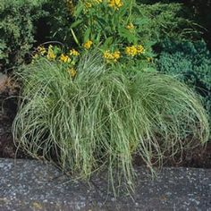 1000 images about ornamental grasses on pinterest for Ornamental grass with yellow flowers