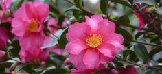 Camellia..Sasanqua camellias have dark-green, shiny leaves that are about 2 inches long, and the shrubs' mature heights range from 2 or 3 feet to 12 feet, depending on the variety. Taller types become like spreading trees ...