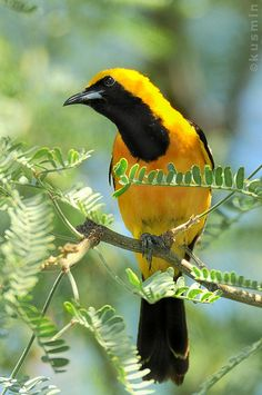 The Hooded Oriole (Icterus cucullatus) is a medium-sized New World oriole. Their breeding habitat is open areas with trees, especially palms, across the southwestern United States and northern Mexico.