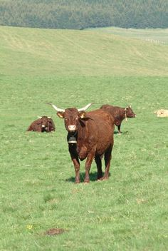 Vache Salers #Auvergne #Cantal Farm Animals, Funny Animals, Happy Cow, Clermont Ferrand, Country Charm, Rhone, Farm Life, Beautiful Creatures, Pet Birds
