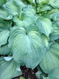 Hosta Earth Angel Shade Plants, Shade Garden, Shrubs, Outdoor Spaces, High Hopes, Earth, Landscape, Porches, Flowers