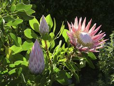 Protea plants are not for beginners and not for every climate. If you'd like a little bit of a challenge, though, protea flowers are beautiful and very unique. To learn more about protea care and information, this article will help.